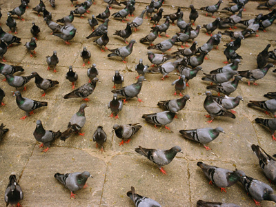 burung merpati bawa ganja