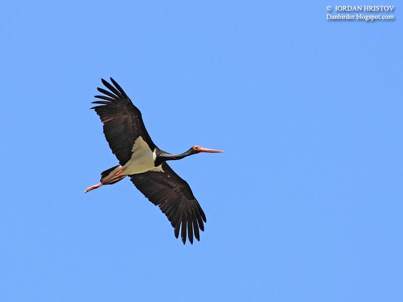 Black Stork photography