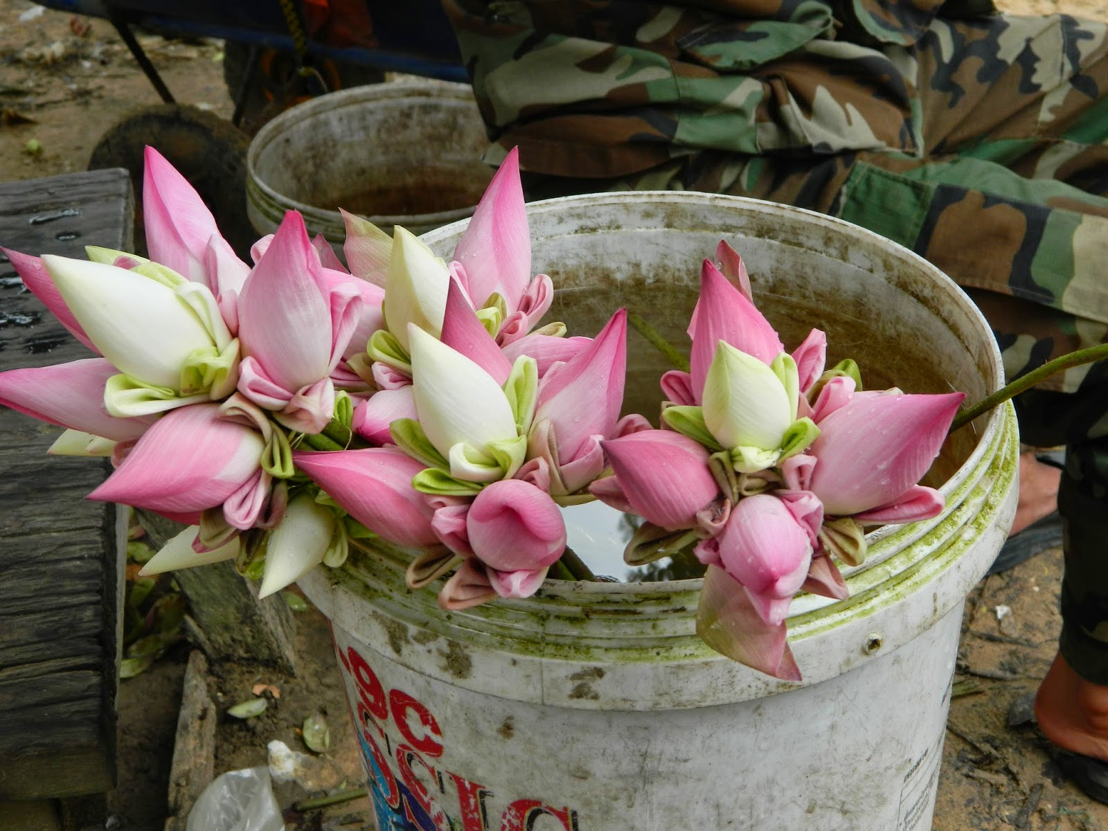 There is lotus all around in Cambodia. I am moving here.