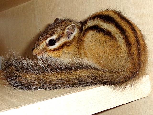Drzewiórki, burunduk, burunduki, wiewiórka syberyjska, wiewiórki syberyjskie, eutamias sibiricus,