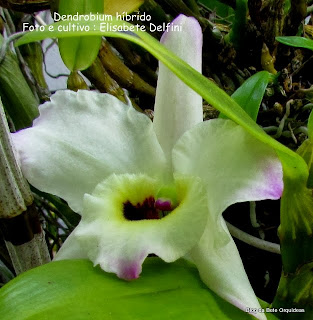 Dendrobium, Debdrobium nobile, Dendrobrium híbrido do nobile