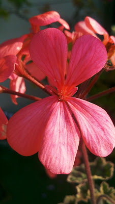Pink begonia close up.