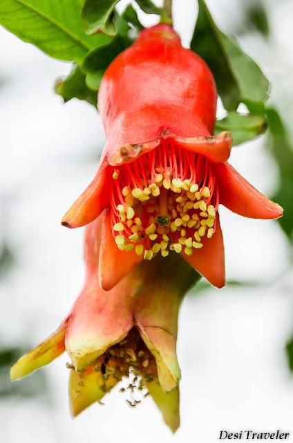 orange flowers of Pomegranate