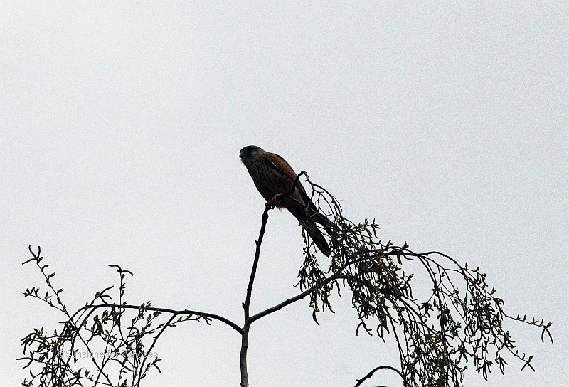 Common Kestrel  on the Hainberg