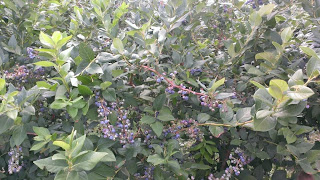patch of blueberry plants
