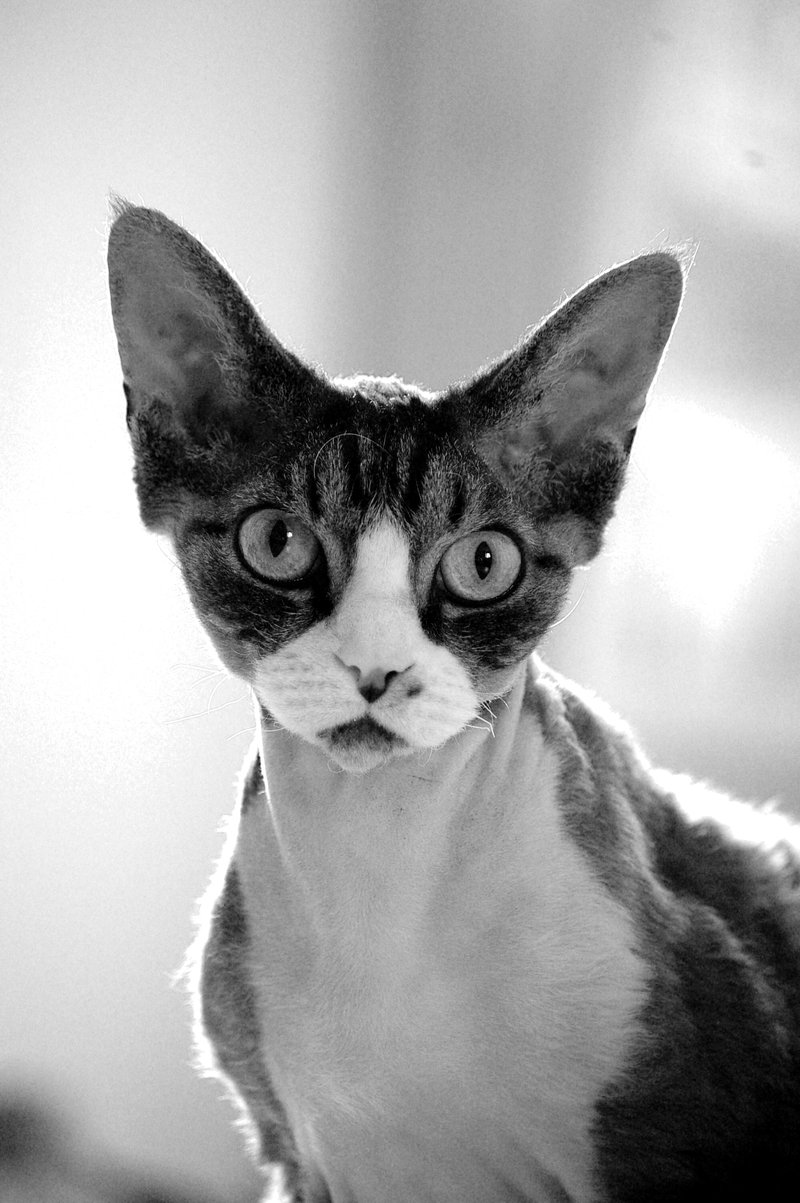 Devon Rex Cat History