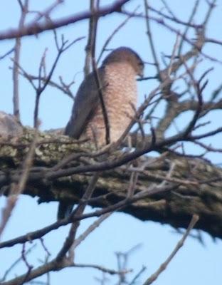 Cooper's hawk in tree