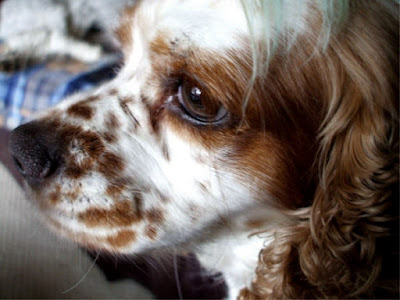 spaniel side of face