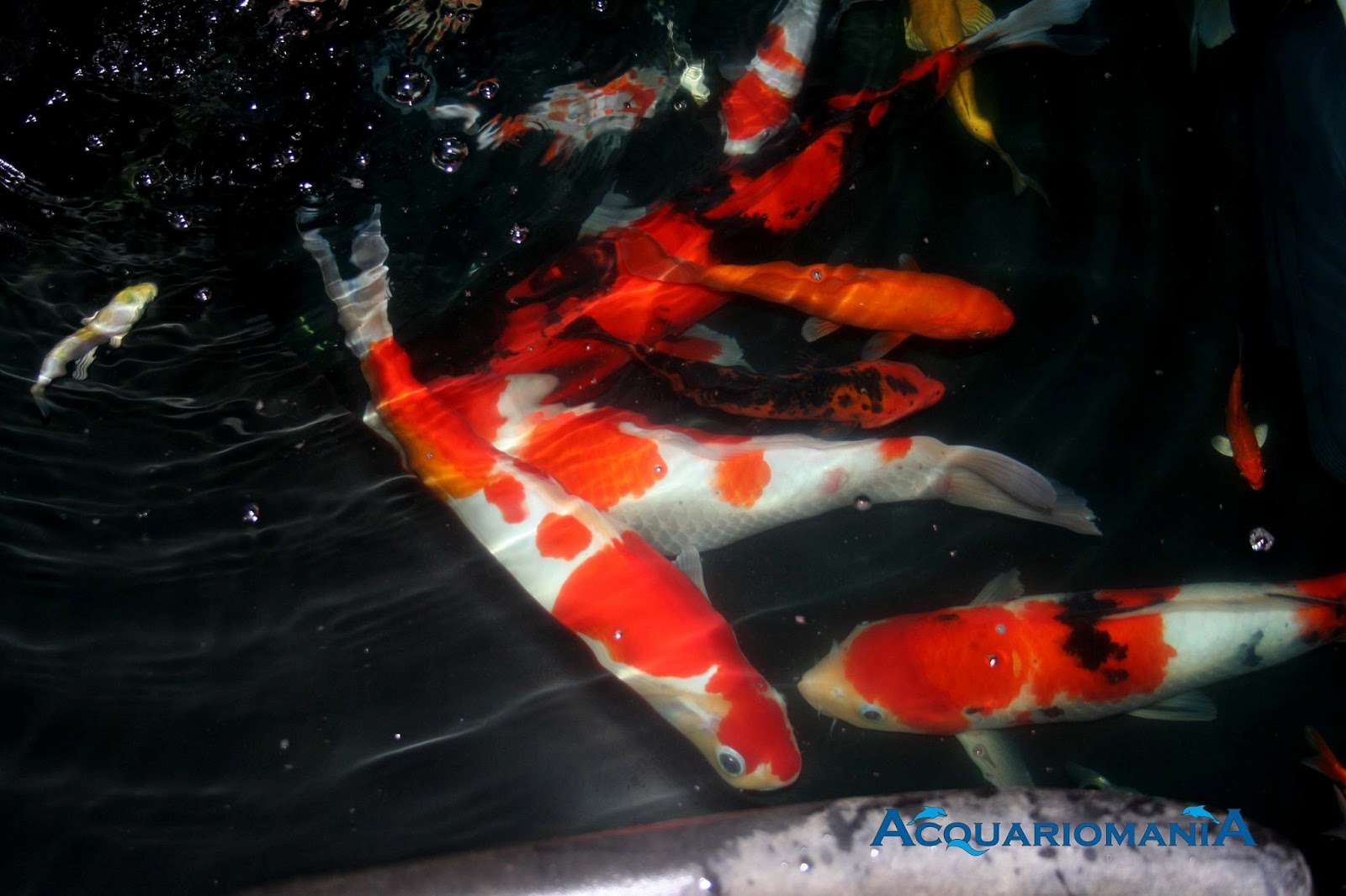 Acquariomania carpe koi for Tarif carpe koi