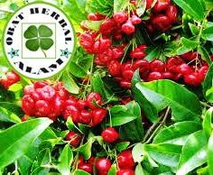 obat herbal, daun jambu air, khasiat, manfaat, kesehatan