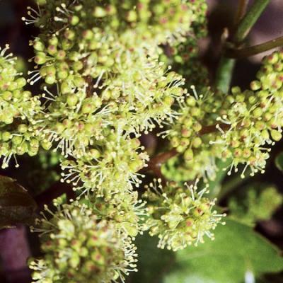 trabajos viticultura mayo