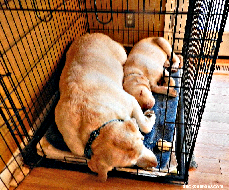 Two Yellow Labrador Retrievers #dogs #puppies #yellowlabs Ducks 'n a Row