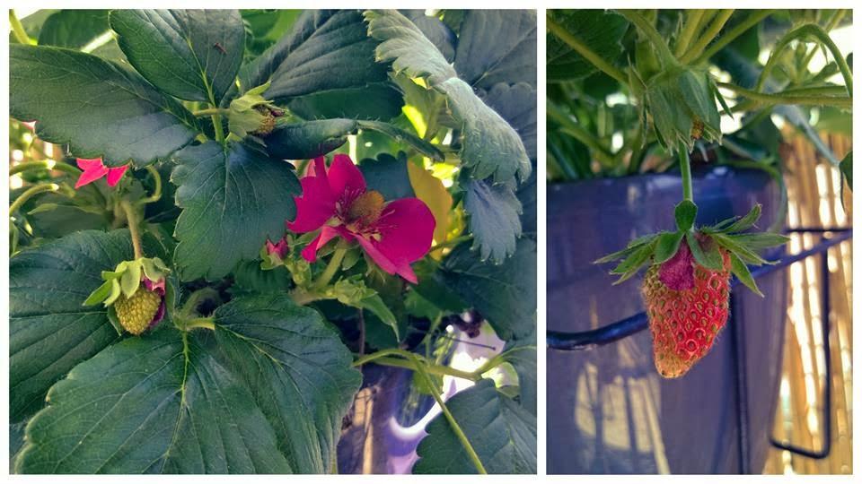truskawka, truskawki, roślina, sadzonka, ogród, ogródek, balkon, działka, doniczka, donica, kwiat, kwiaty, róż, owoc, owoce, zioła, tymianek, marchewka, sadzić, siać, hodować, rośnie, rośliny balkonowe, nasz ogródek, zrywać, truskawkowy, czerwone, dojrzewać, dojrzewające, krzaczek, osłonka, stolik, krzesełko, krzesełka, odpoczynek, relaks, dziecka, dziecko, radość, zielone, liście, podlewać, woda, słońce, strawberry, strawberry, plant, seedling, garden, garden, balcony, grounds, flower, flower pot, flower, flowers, roses, fruit, fruits, herbs, thyme, carrots, plant, sow, grow, grow plants for the balcony, our garden, pluck, strawberry, red, mature, matured, bush, shell, table, chair, chairs, rest, relax, baby, child, joy, green, leaves, and water, water, sun,