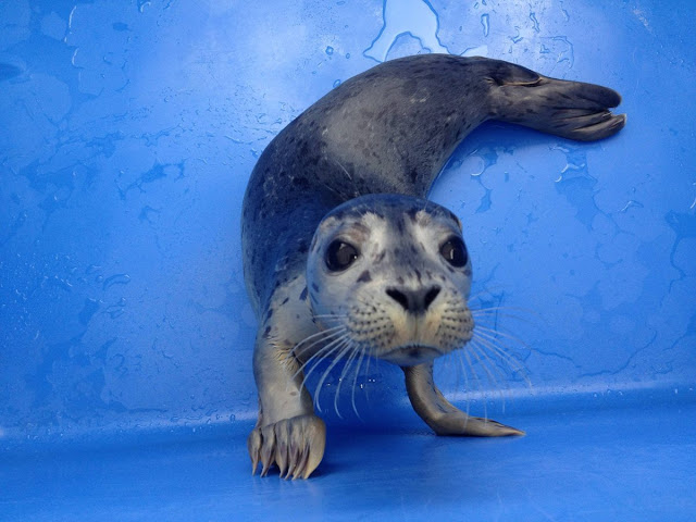 baby seal, funny animal pictures, animal photos, funny animals