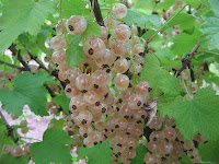 white-currants