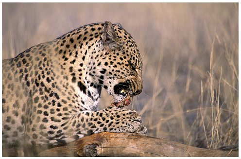 Leopards eating - photo#3