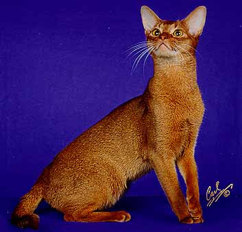 Red Abyssinian Cat - Sorrel - Cinnamon
