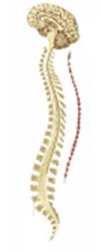 Cerebro y Médula Espinal