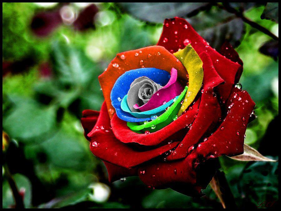 Colorful rose beautiful snaps for Where can i buy rainbow roses