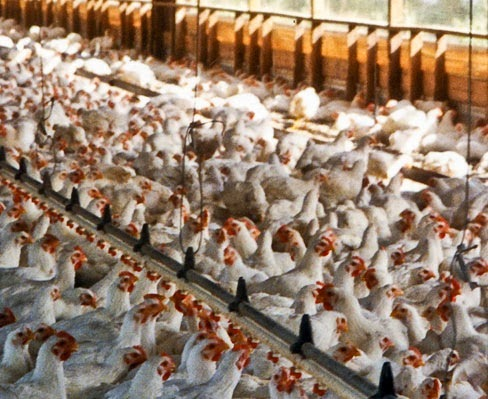 chickens crammed together at a chicken farm