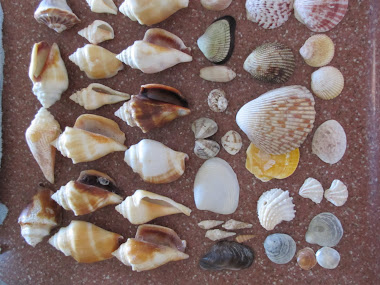 Seashells We Found on Sanibel Island