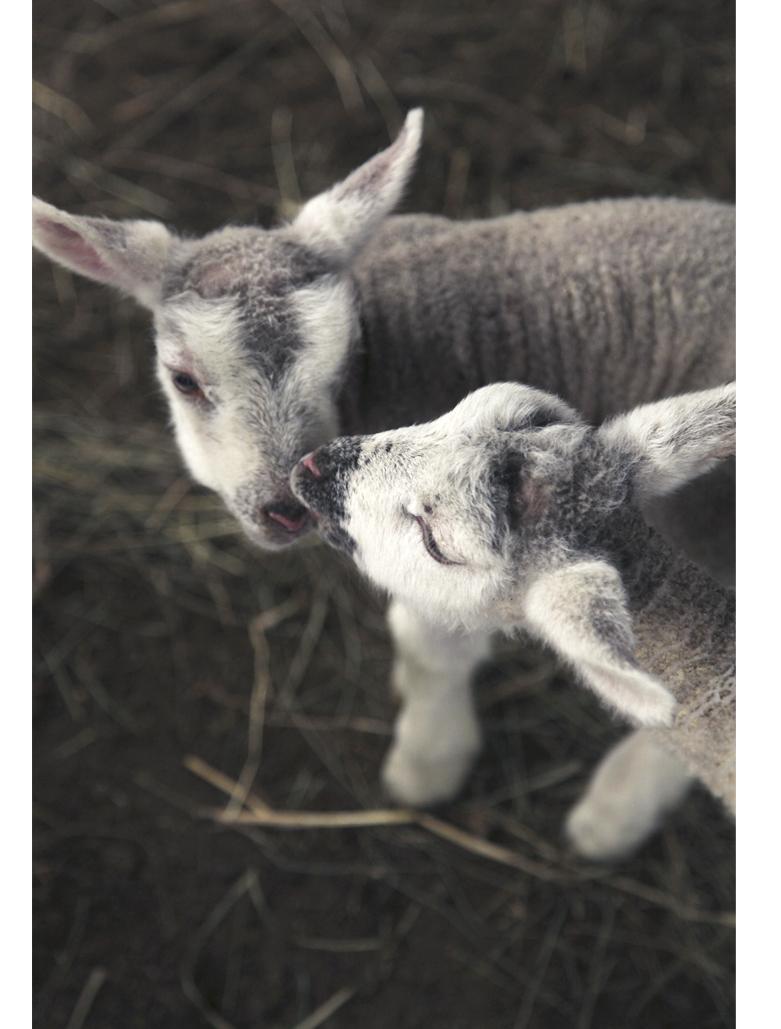 agneaux nouveaux nés