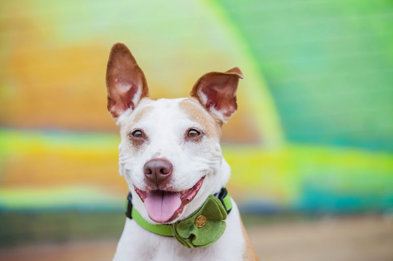Pit bull types were the most common breed in the study of why people surrender dogs