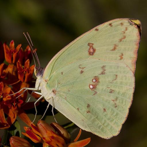 Cloudless sulfur (Phoebis sennae)