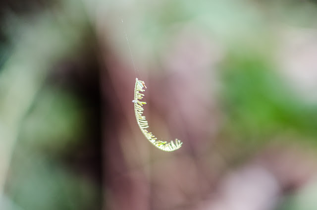 fern frond on a cobweb