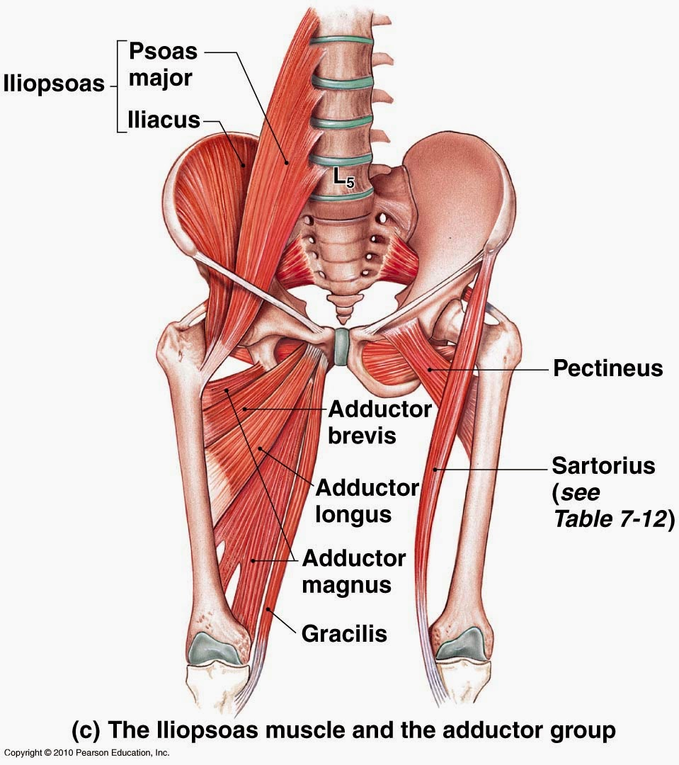 Ciencias de Joseleg: Grupos musculares principales de la cintura ...