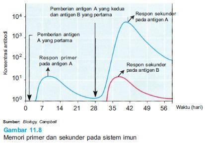 Memori primer dan sekunder pada sistem imun