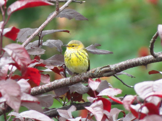 cape may warbler one