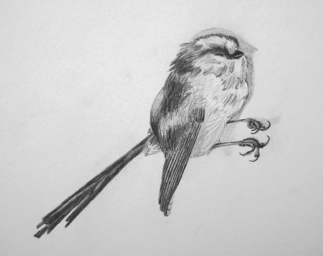 Long-tailed tit drawing in pencil