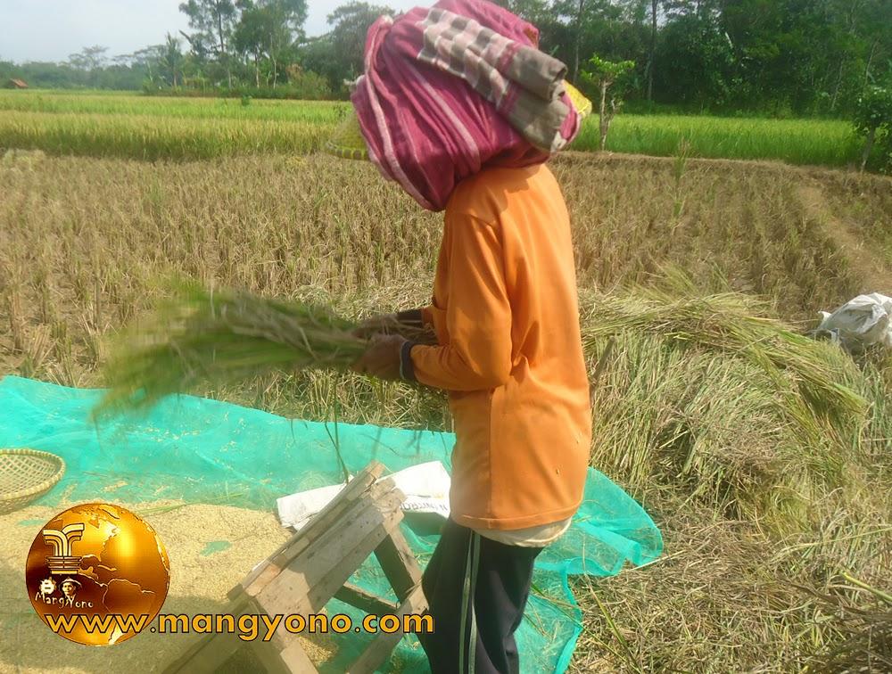 """FOTO :  Menggunakan perontok padi manual """" Gebotan """"."""