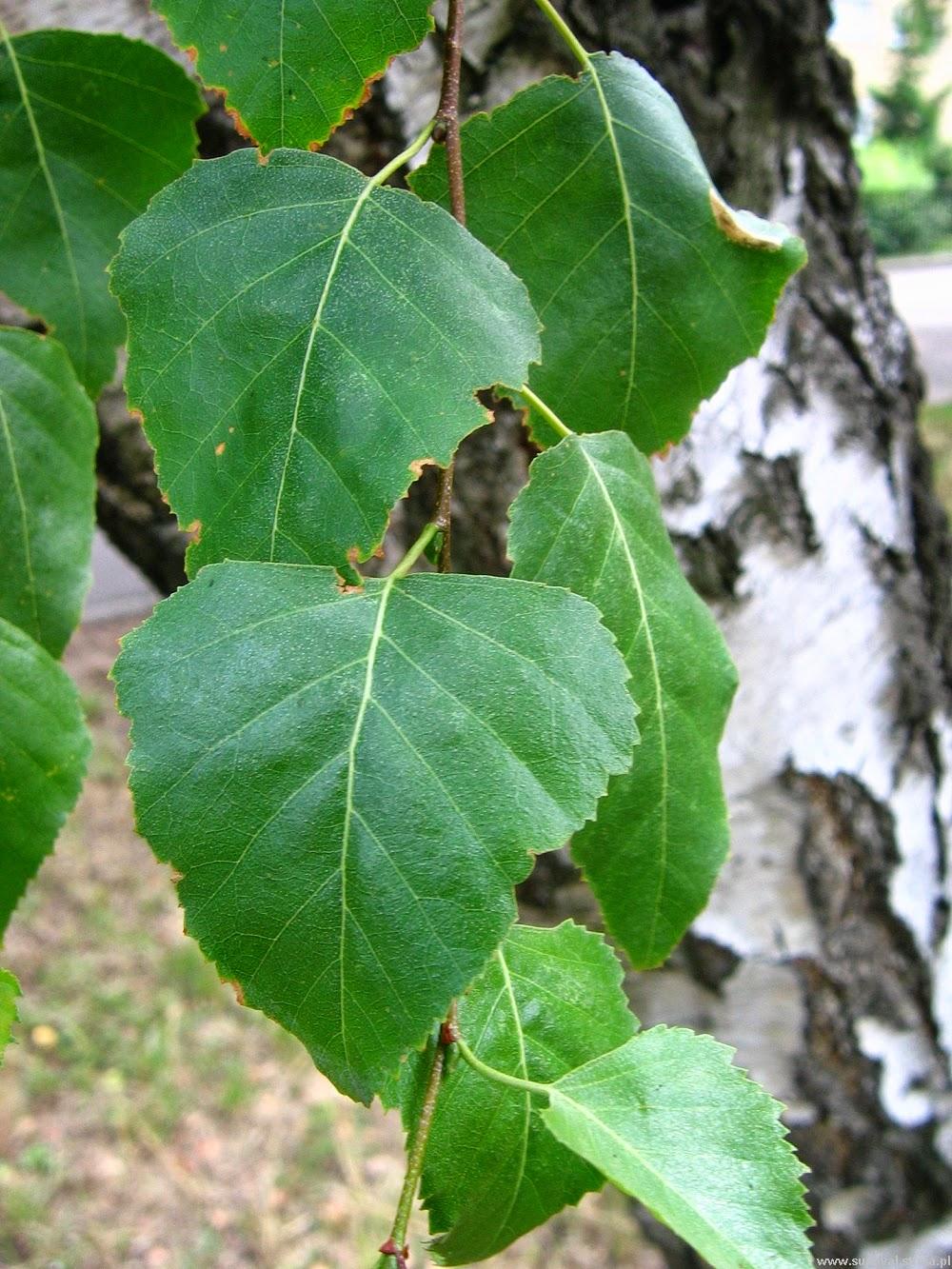 BRZOZA OMSZONA Betula pubescens