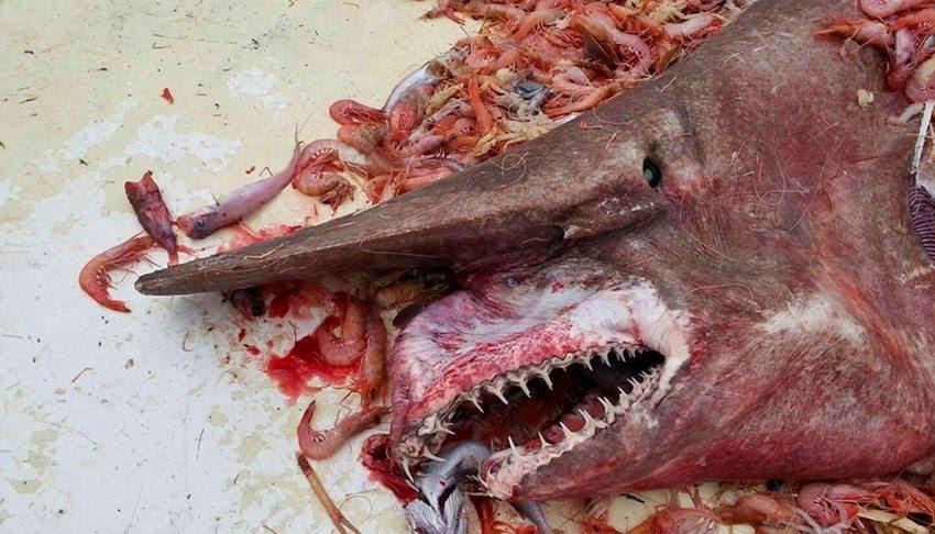 Tiburón Duende un prehistórico descubrimiento sin precedentes