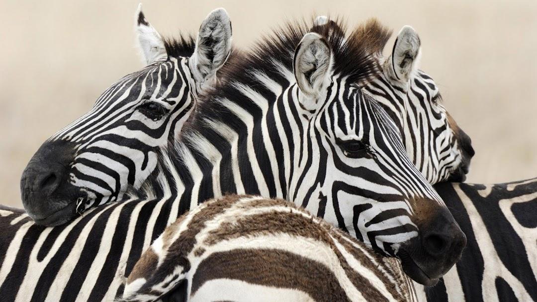 Zebra HD Wallpaper 4