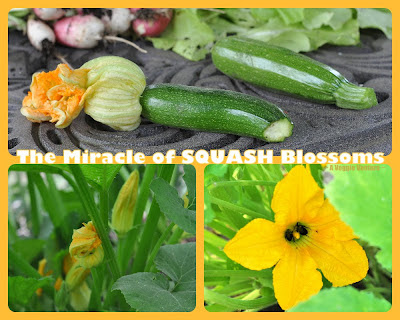The Miracle of Squash Blossoms