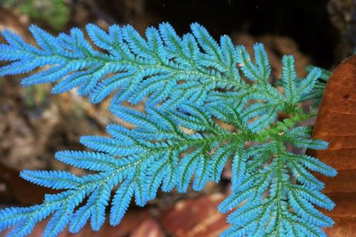 contoh tumbuhan paku