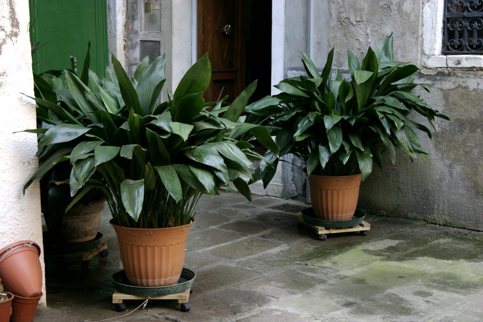 Arte y jardiner a aspidistra u hojas de sal n - Planta de salon ...