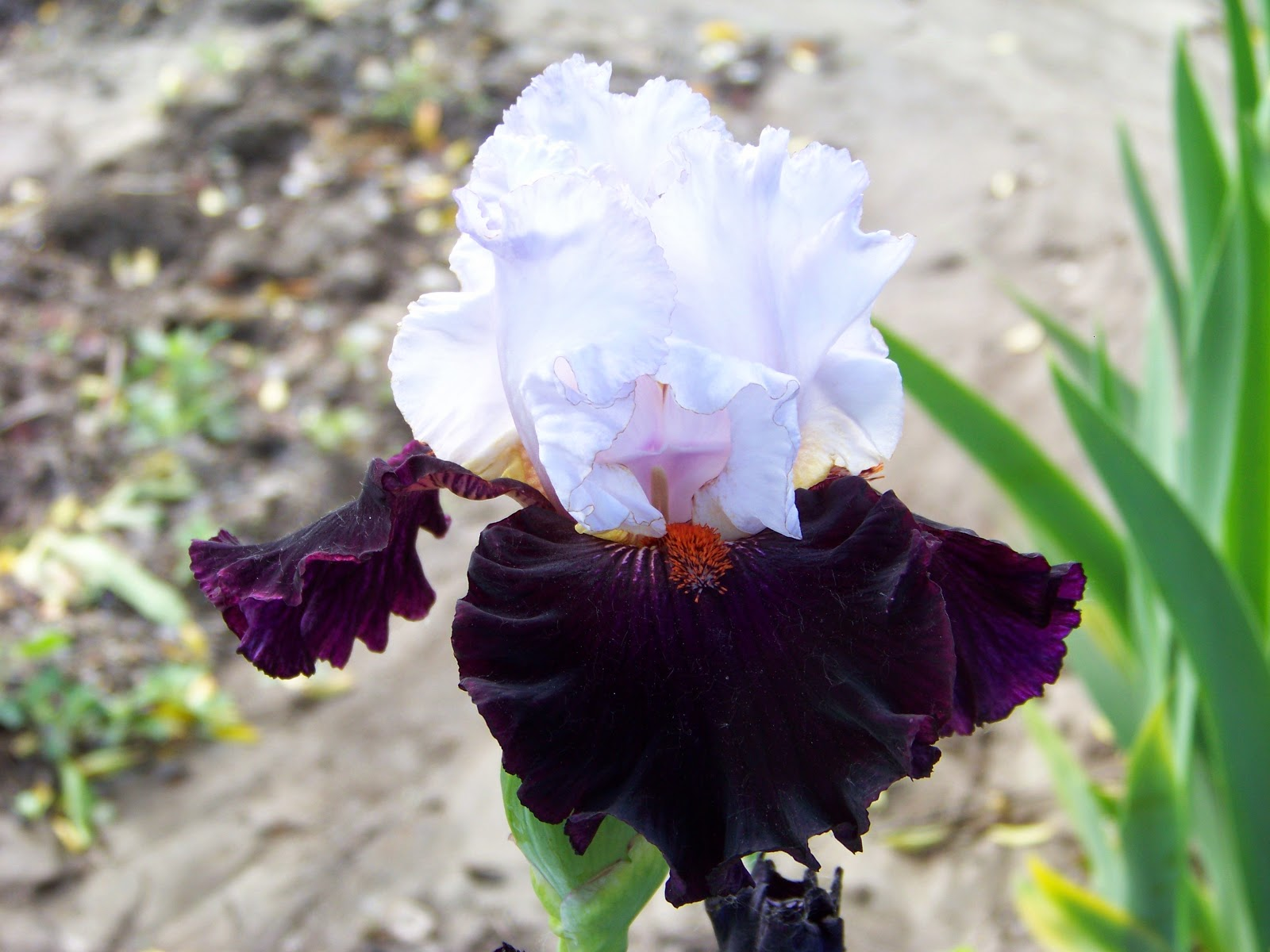 World of irises this is a new addition to the black arena it is an all over black self with just a few light white stripes parallel to the beard izmirmasajfo