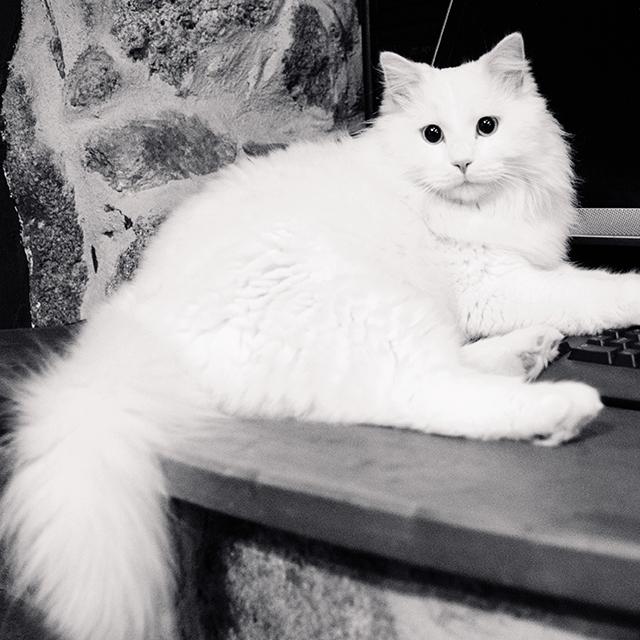 Lovely white cat