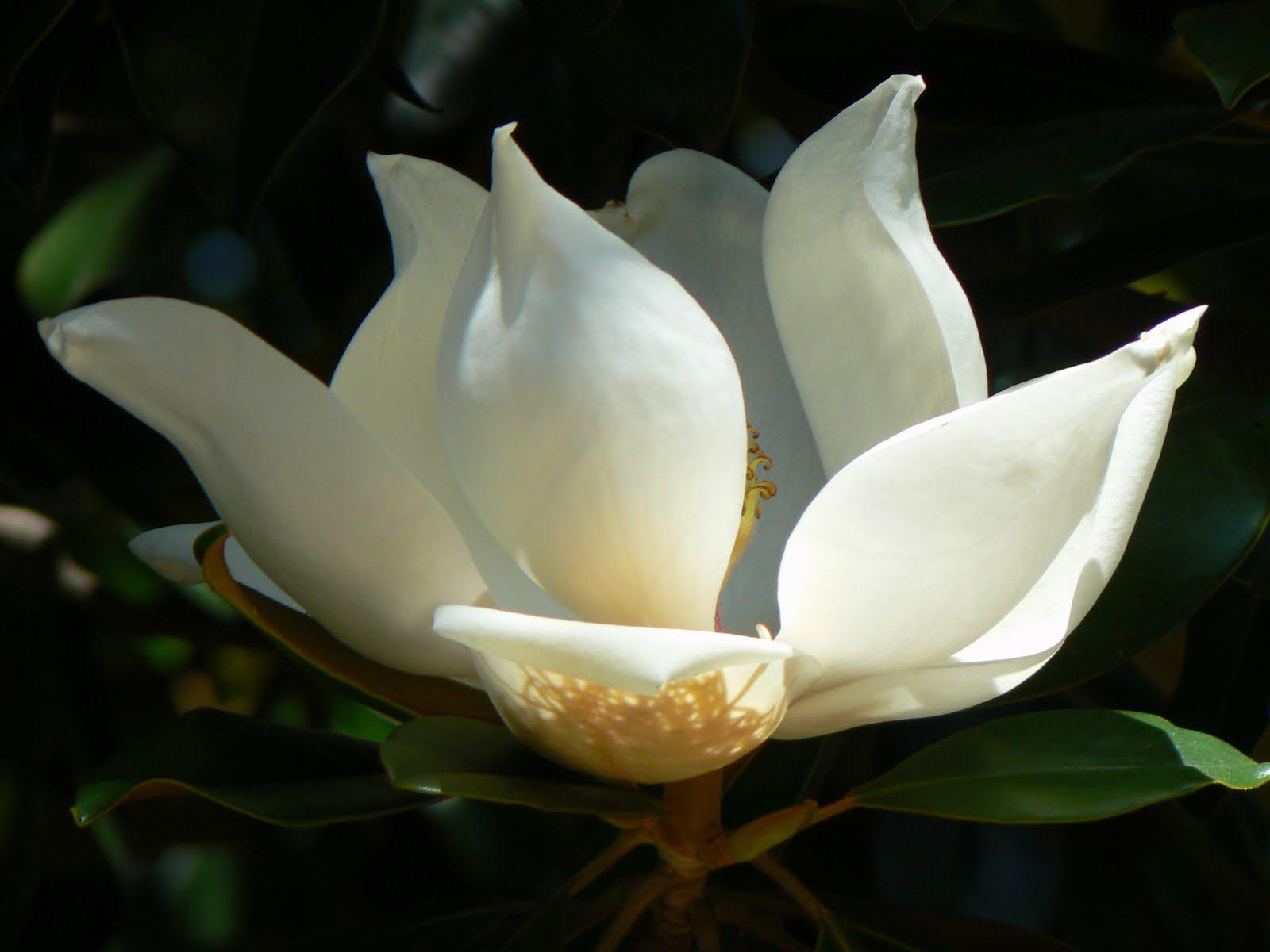 Imagenes De Flores Magnolias - Foto Gratis: Magnolia, Árbol De Magnolia, Flores Imagen