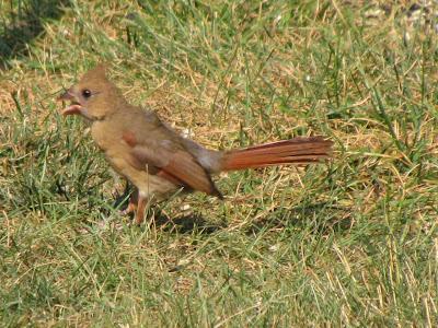another cardinal hopping on grass