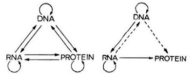 Crick Re Stated His Original Version In A Classic Nature Paper In 1970  After The Discovery Of Reverse Transcriptase. He Pointed Out That The  Synthesis Of ...