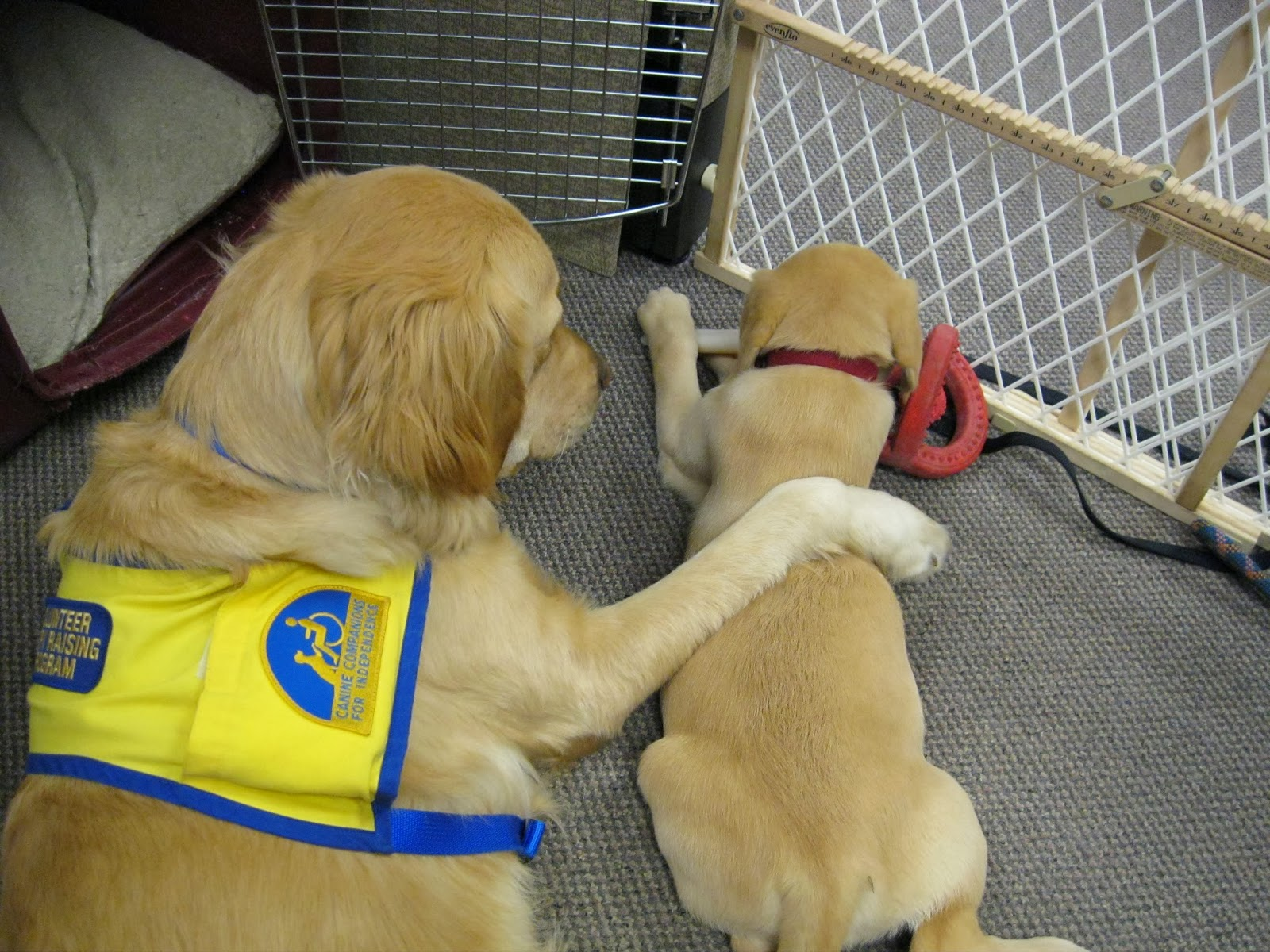 service dog and puppy
