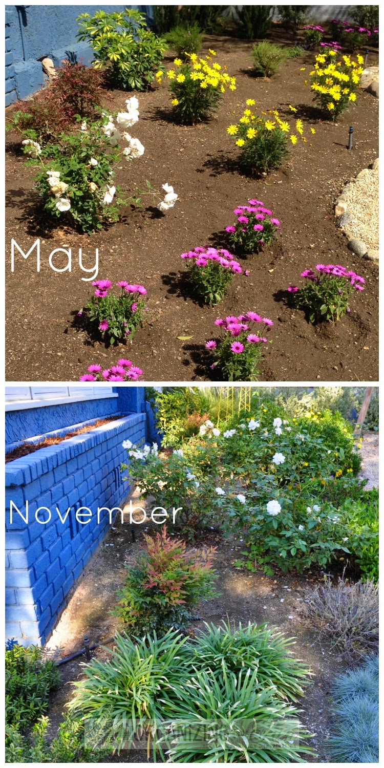 Front yard, drought tolerant planting six months apart :: OrganizingMadeFun.com