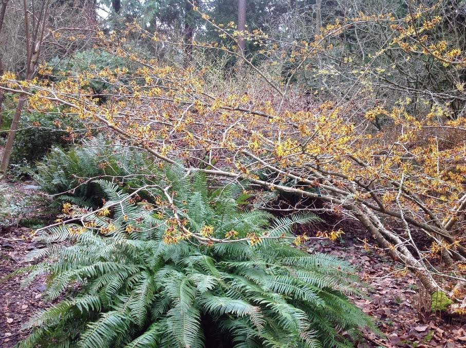 Hamamelis Mollis In The Witt Winter Garden, With A Large Clump Of The  Ubiquitous Fern Of The Pacific Northwest, The Handsome Polystichum Munitum.