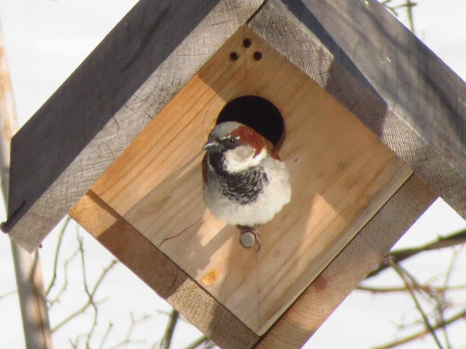 male house sparrow starts setting up in March