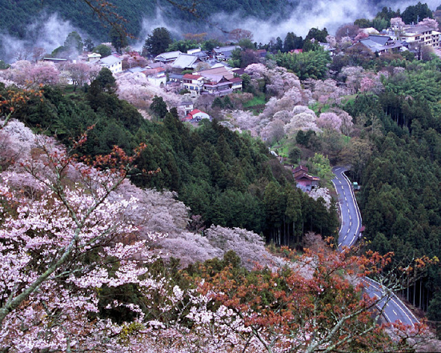 Japan's Cherry Blossom Season